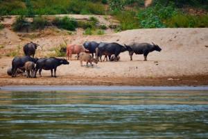 V Huay Xai som po troch pivách Dimovi povedala, že možno uvidíme aj nosorožcov (myslela som vodných búvolov), tak mi ich cvakol a dohliadol, či to sem dám. Njn, veľmi vtipné...