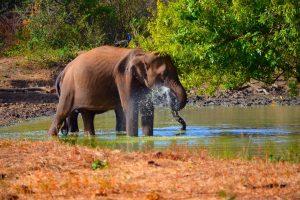 Dvaja parťáci. Inak su sloni samotári. Samice sa zase zdržujú v stádach.