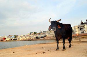 Jedna z prešibaných kráv.