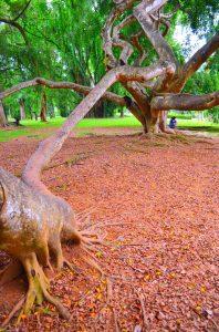 Z konárov tohto stromu rástli ďalšie tri.