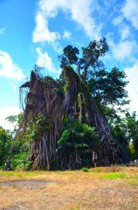 Najtarší Banyan Tree na Bali.