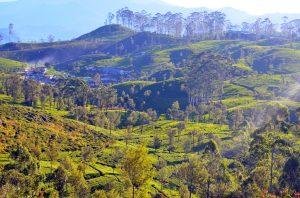 Nekonečné čajové plantáže.